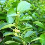 Gymnema Sylvestre – precious herb for diabetics